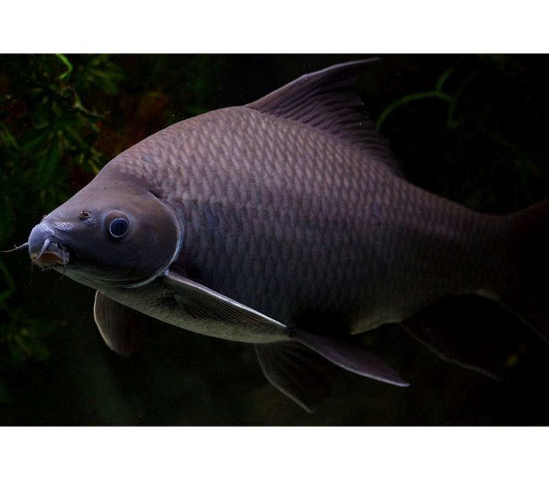 Black Shark - Morulius Chrysophekadion