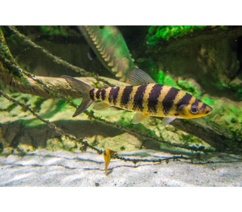 Banded Leporinus - Leporinus Affinis
