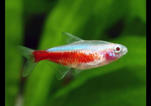 Albino Cardinal Tetra