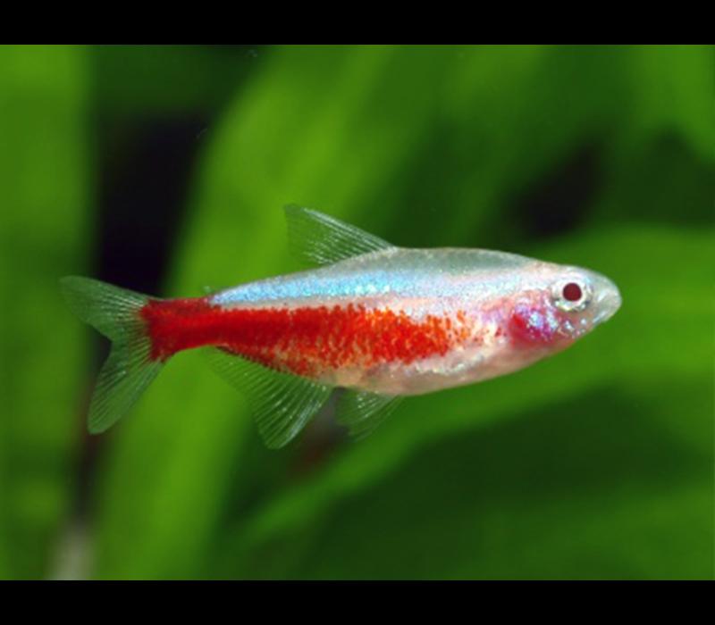 Albino Cardinal Tetra - Paracheirodon Axelrodi