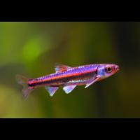 Rainbowshiner - Notropis Chrosomus