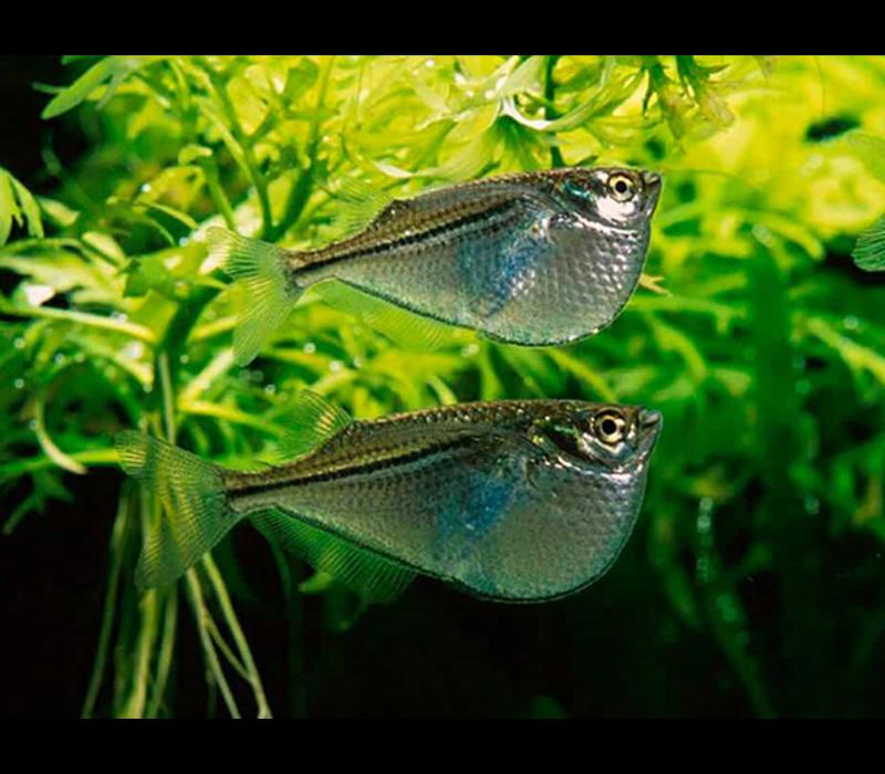 Grote Zilveren Bijlzalm - Gasteropelecus Sternicla