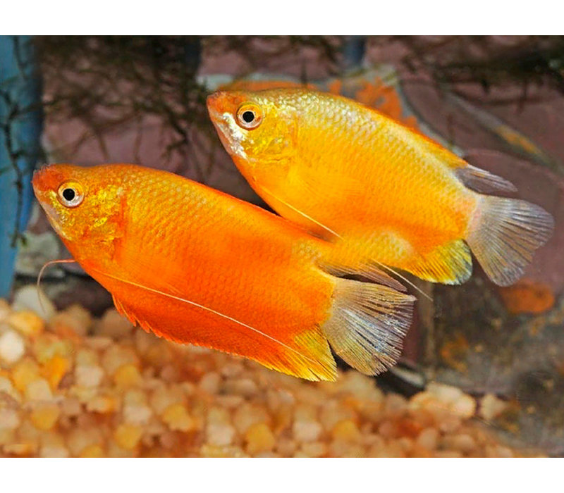 Diklip Gourami Goud - Trichogaster Labiosa Gold