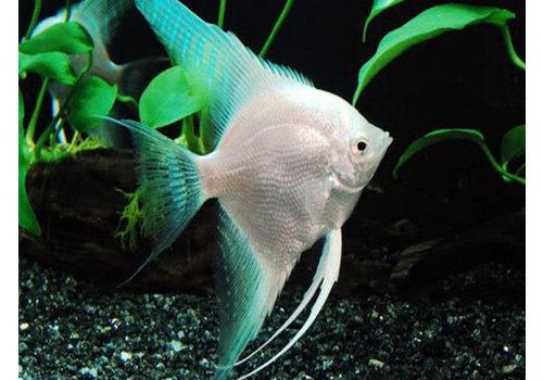 Angelfish Platinum Blue