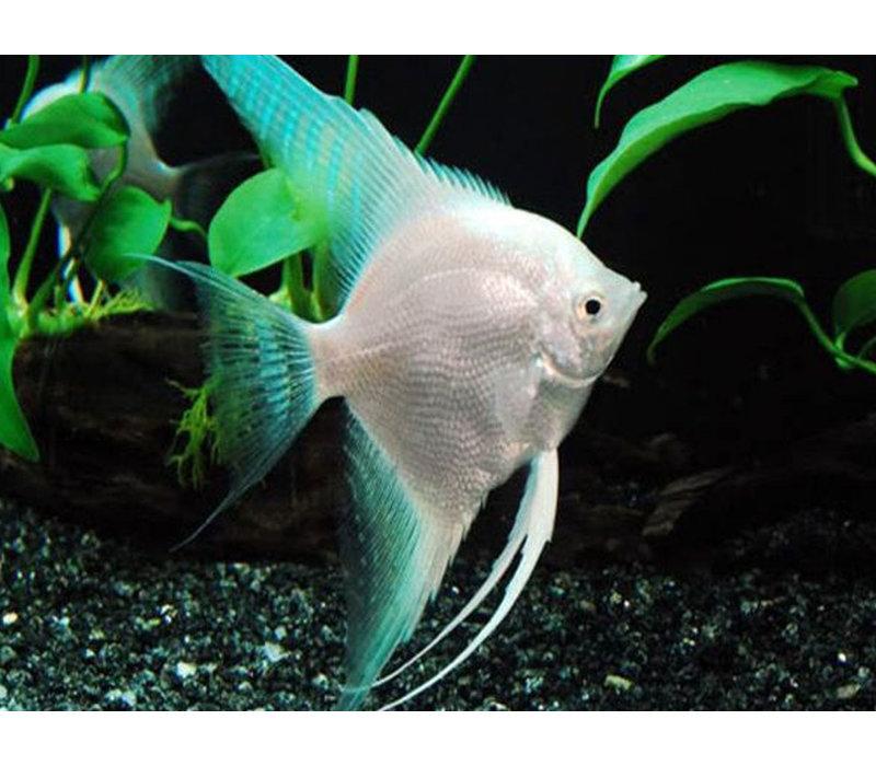 """Angelfish Platinum Blue - Pterophyllum """"Scalare"""""""