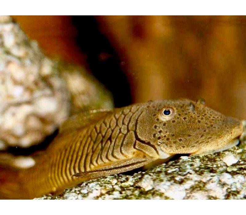 Breedbek Meerval - Chaetostoma Punctatus (L148)