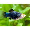 Black Platy - Xiphophorus Maculatus