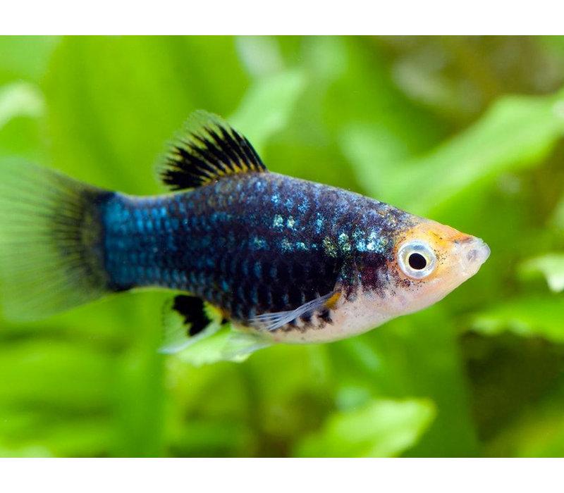 Platy Zwart - Xiphophorus Maculatus