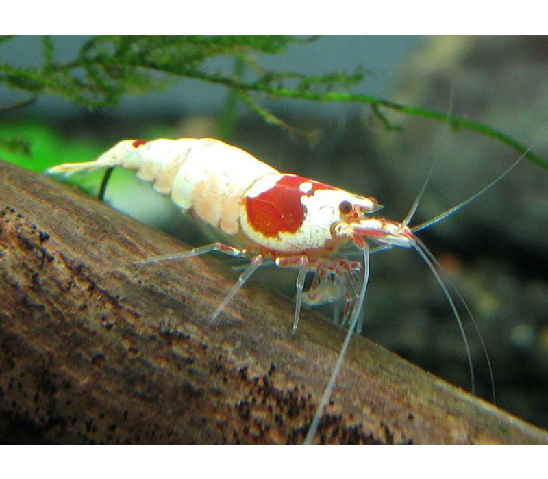 Crystal Red Mosura Garnaal - Caridina Cantonensis