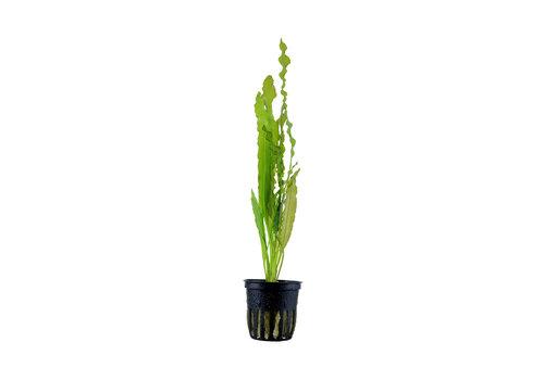 Aquaflora Aponogeton Crispus