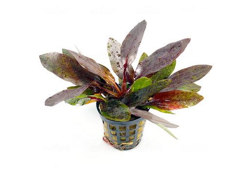 Echinodorus Purpurea