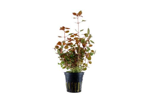 Ludwigia Palustris Rood