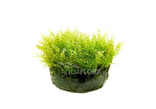 Aquaflora Plagiomnium Affine