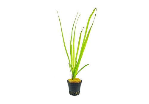 Aquaflora Vallisneria Spiralis