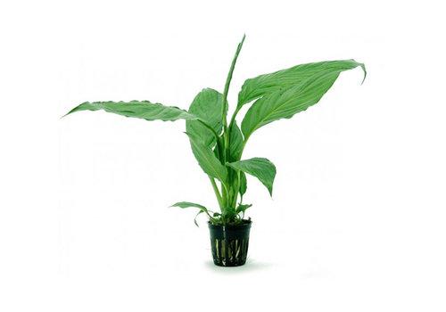 Spathiphyllum Green