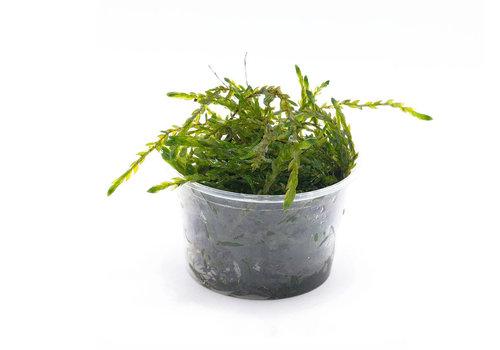 Aquaflora Fontinalis Antipyretica
