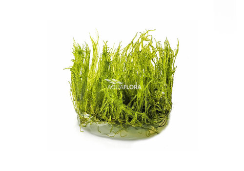 Aquaflora Taxiphyllum Alternans 'Taiwan Moss'