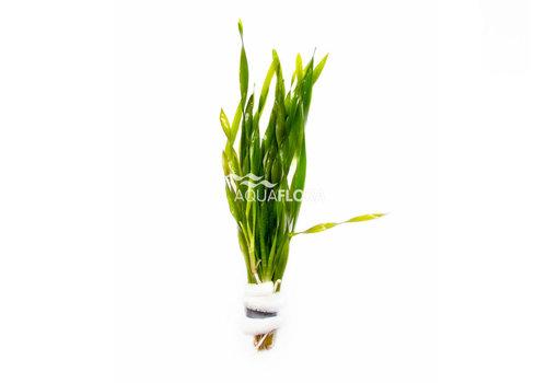 Aquaflora Vallisneria Torta