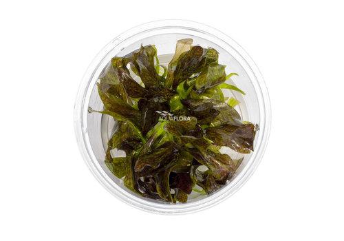 Aquaflora Echinodorus 'Little Mystery'