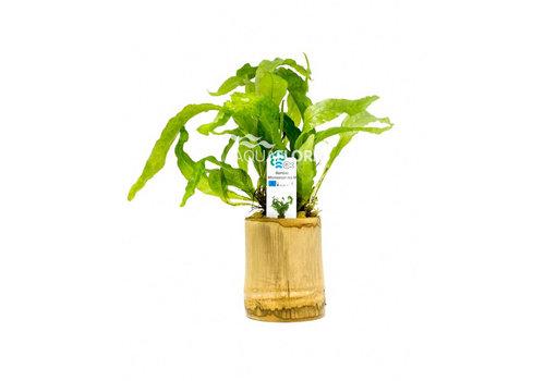 Aquaflora Bamboo - Microsorum Mix