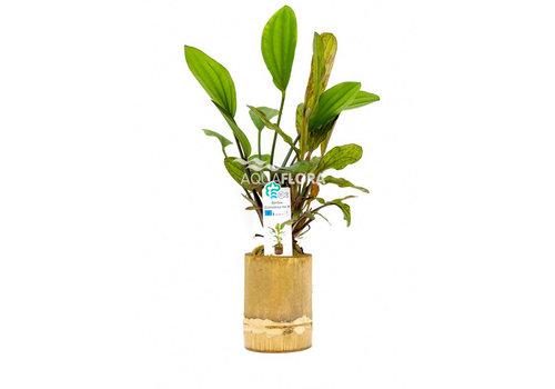 Aquaflora Bamboe - Echinodorus Mix