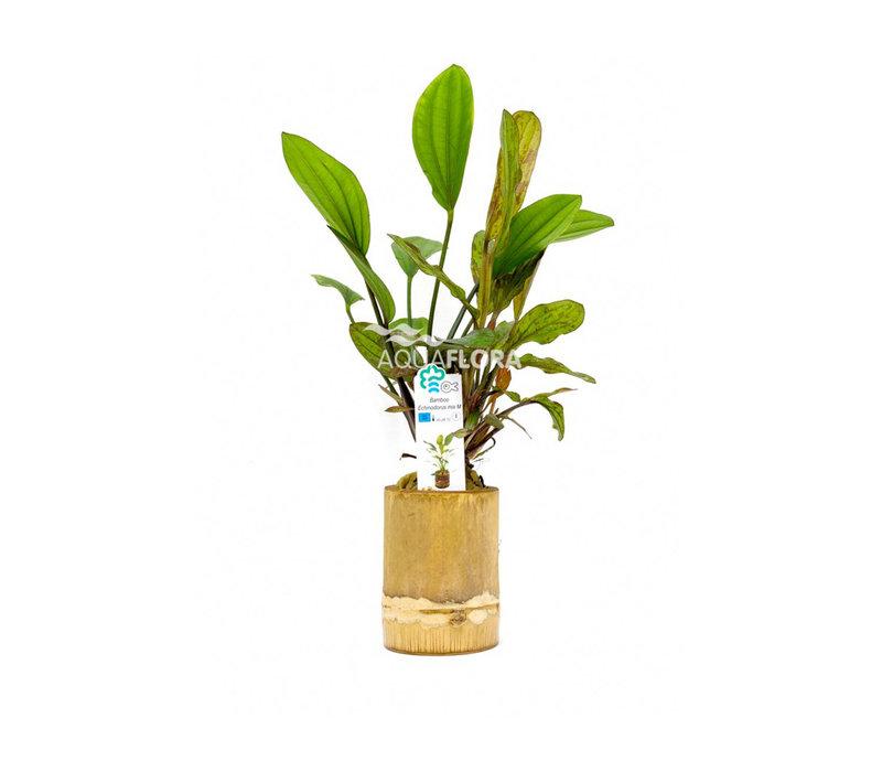 Bamboo - Echinodorus Mix