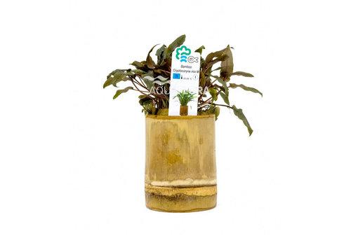 Aquaflora Bamboo - Cryptocoryne Mix