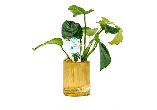 Aquaflora Bamboe Pot - Anubias Mix