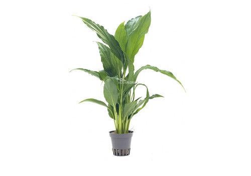 Aquaflora Spathiphyllum Wallisii