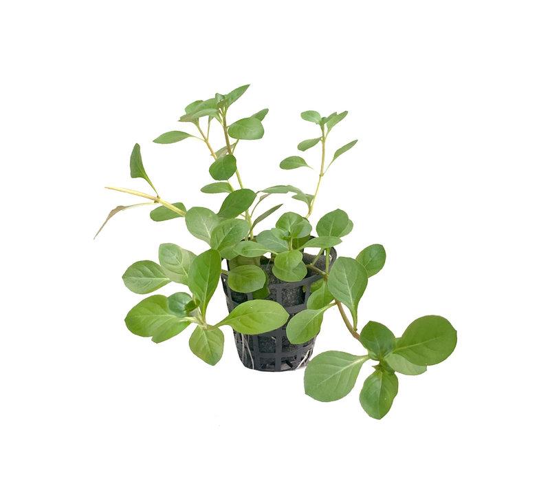 Ludwigia Palustris Groen