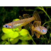 Pseudomugil Tenellus - Delicate Blue-Eye