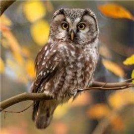 Diamond Painting - Tawny Owl 30x30cm op houten frame