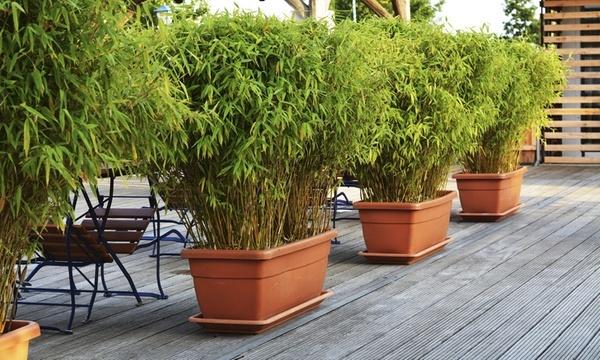 Bamboe planten in plantenbak
