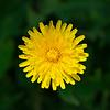 Tarassaco - Pissenlit : LA plante qui nous veut du bien !