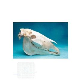Osteo-model horse skull