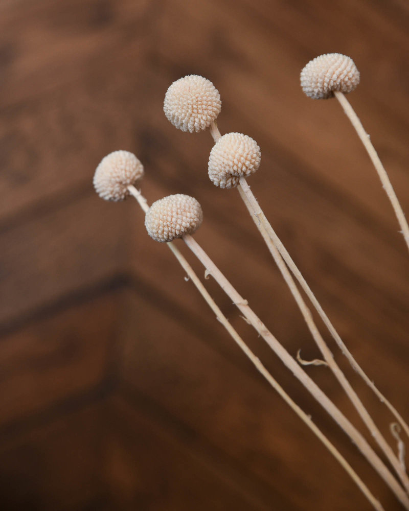 Dried Flowers Craspedia (SET OF 5)