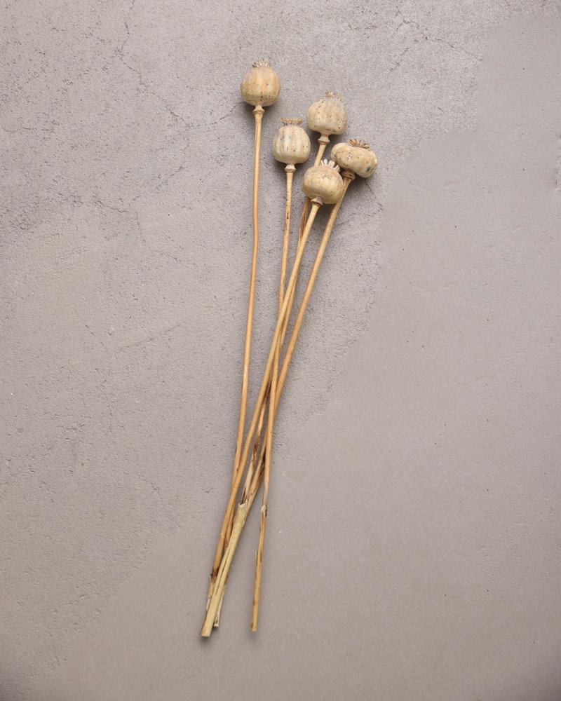TCA Dried Flowers - Poppy Beige