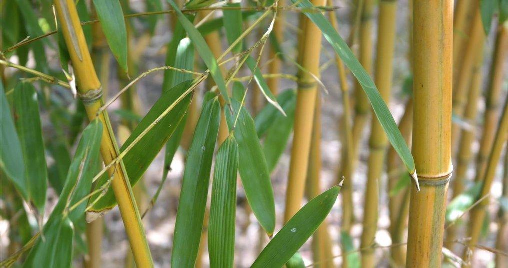 De 10 voordelen van bamboe - Koning Bamboe