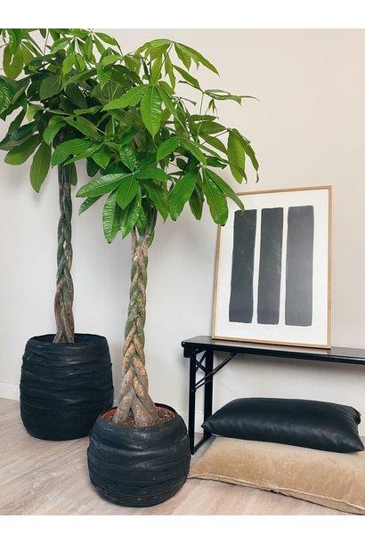 Plant Pachira 30cm pot 180cm hoog