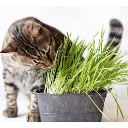 Cyperus zumula pot (kattengras) in pot