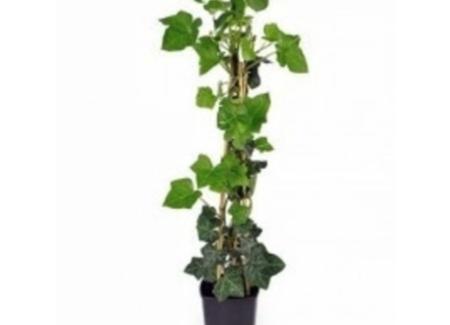 Hedera hibernica klimplanten
