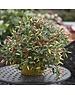 Unwins Pepper (Chilli) Basket of Fire F1