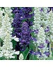 Unwins Salvia Wedgewood Blend