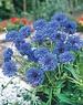 Unwins Unwins Cornflower Blue Diadem