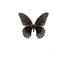 Liljebergs Liljebergs Papilio Memnon Male underside