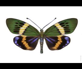Liljebergs Liljebergs Etherusia Repleta