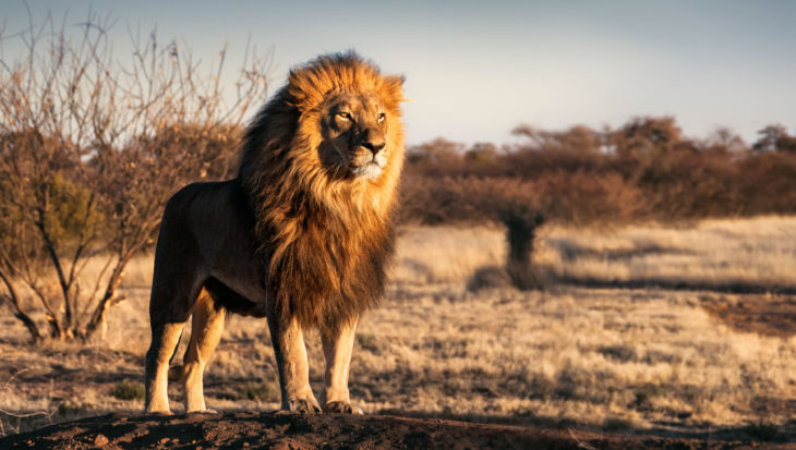 Nous sentons-nous comme des lions de zoo?