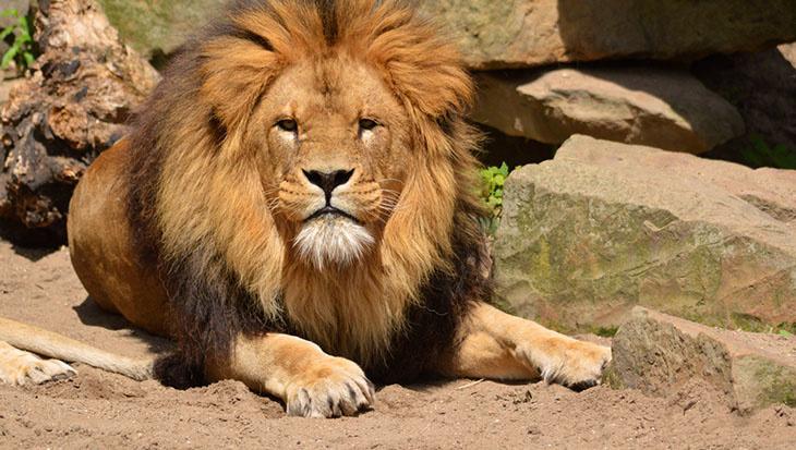 Lions dans le zoo Francais