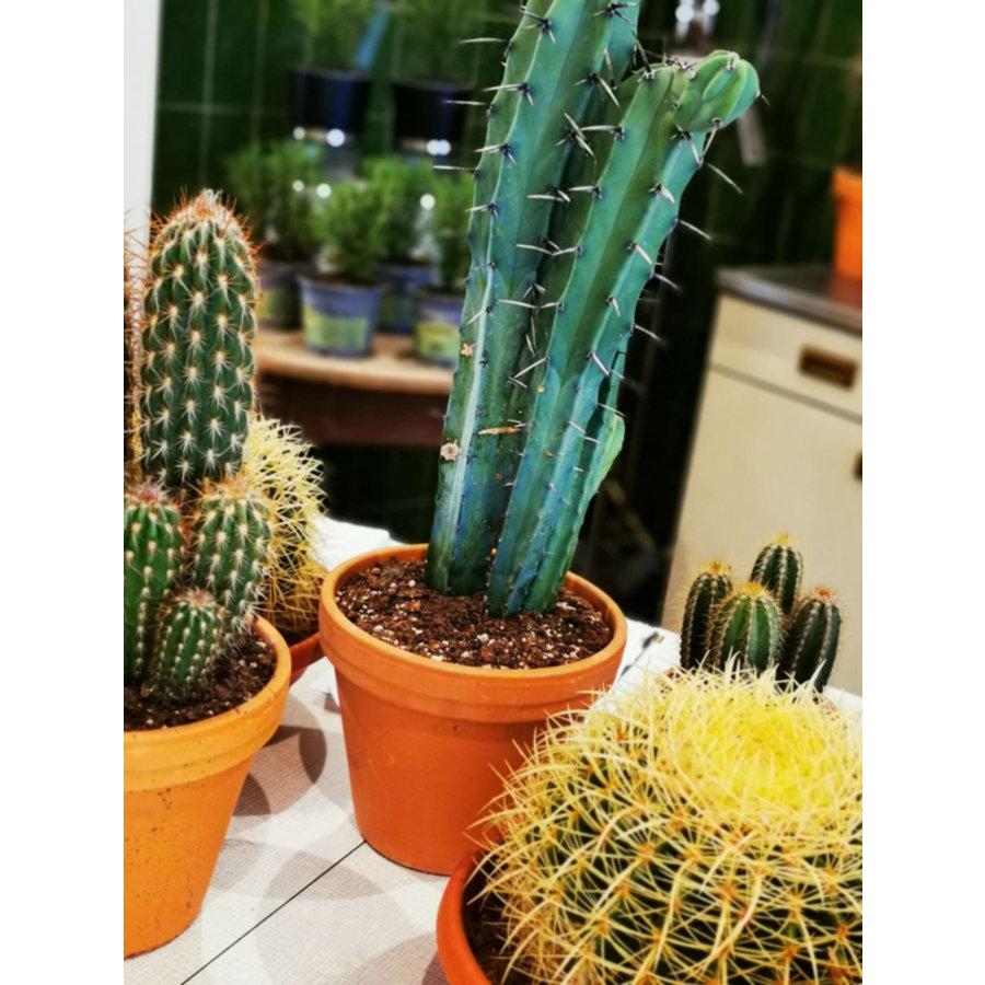 Cactus XL-2