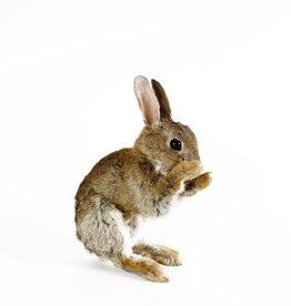 Taxidermy rabbit - feeding position